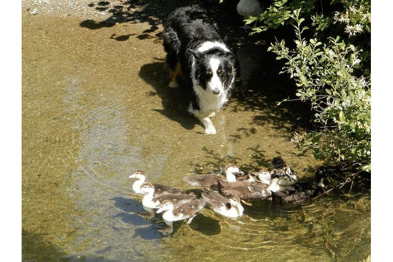 Dog and Ducks !