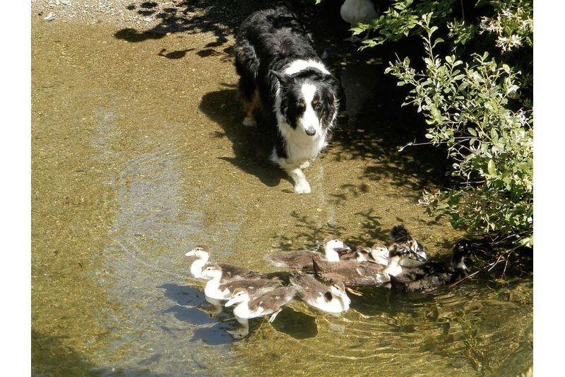Dog and Ducks !