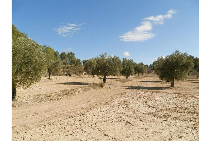 Olive Trees and Terraces
